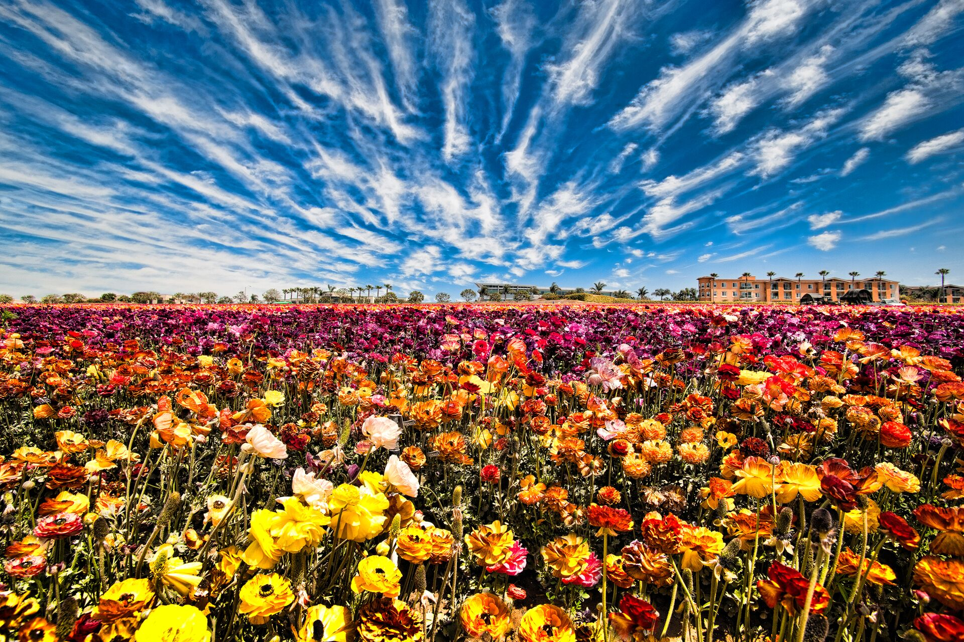 The Flower Fields - Extended week until May 16th: Main Image